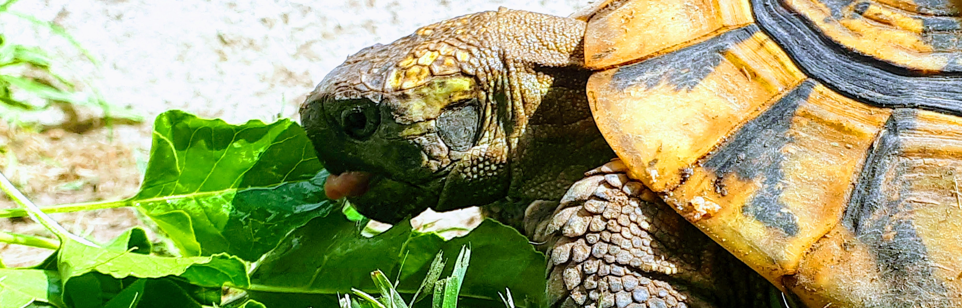 alimentation-tortue